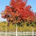Green Mountain Sugar Maple
